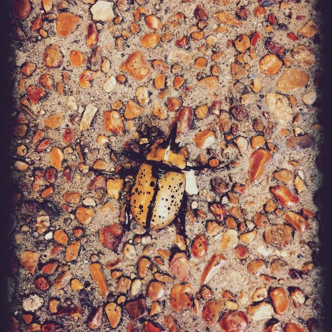 Unicorn Beetle Animal Themes High Angle View Animals In The Wild Wildlife Insect Backgrounds Close-up Full Frame Nature Outdoors Large Group Of Objects Abundance Zoology Beauty In Nature Collection Unicorn Beetle Tennessee Nature