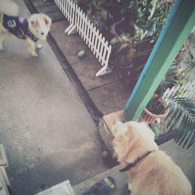 The fight. Dog Pet Pet13 Goldenretriever