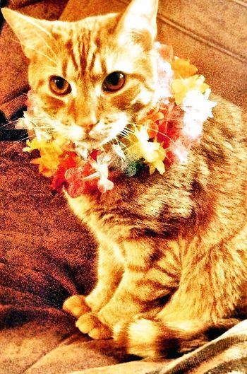 Hawaiian kitty