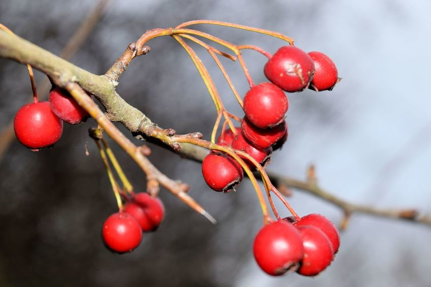 Close-up Day Nature No People Outdoors Redberries Tree Eyeemmarket
