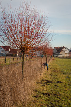 Pollarding pollard willow trees. Agriculture Bare Tree Built Structure Day Grass House Human Leading Lines Mammal Molehills Nature No People Outdoors Pollard Willows Pollarding Sky Tree Willow Branch Nusshain 01 17