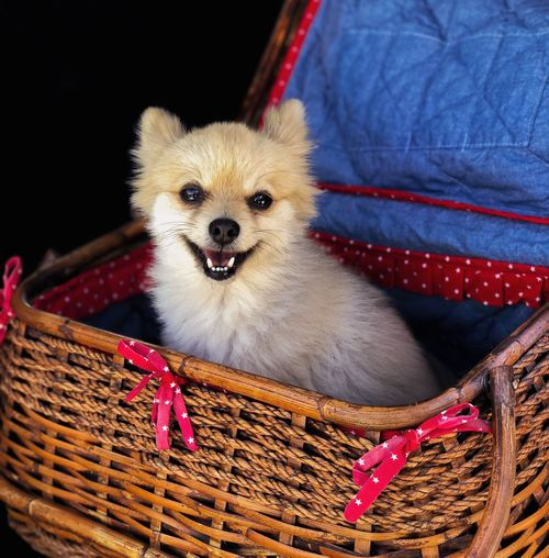 Happy doggy = happy life Pets Dog Basket Domestic Animals One Animal Animal Themes Animal Pomeranian Looking At Camera No People Portrait Protruding Black Background Indoors  Close-up Day Pomeranian Dogs Of EyeEm Dog Love Dogs