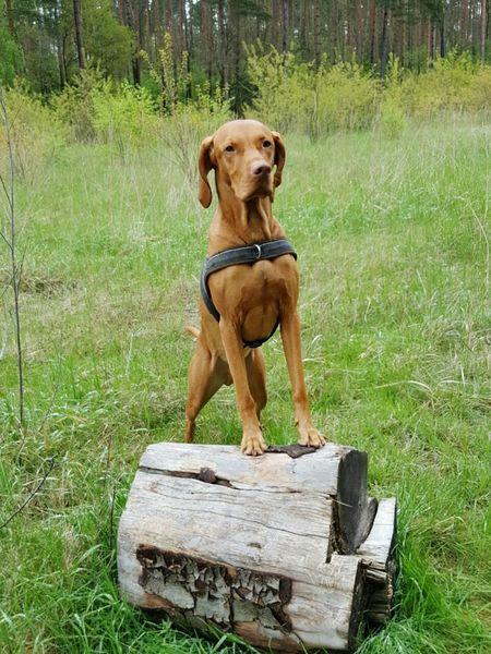 Hunting Dog Vizslalife Vizslalove Vizslasofinstagram Vizslaoftheday Magyar Vizsla Hungarianvizsla Ijuma Von Terra Lebusana