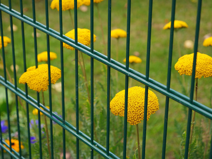 Close-up of yellow flowering plants by railing