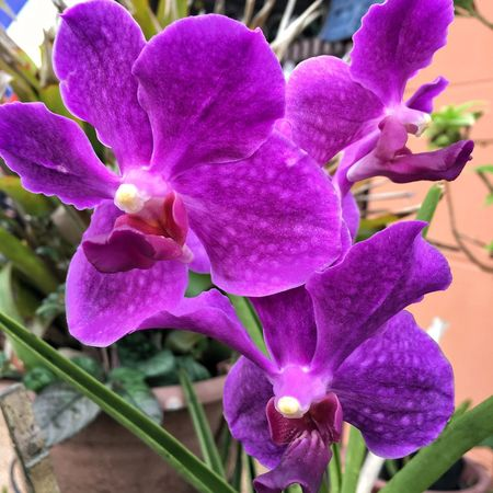Flower Petal Beauty In Nature Fragility Growth Nature Freshness Flower Head Plant Close-up Outdoors No People Blooming Purple Pink Color Day Orchid Vanda EyeEmNewHere The Week On EyeEm