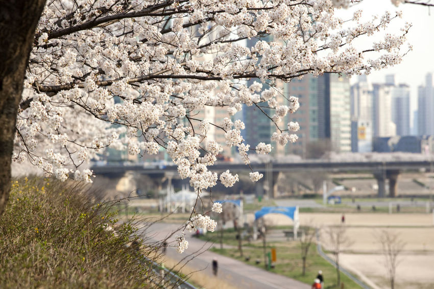 Anyangcheon April Beauty In Nature Blooming Blossom Branch Bridge Building Exterior Built Structure Cherry Blossoms Day Flower Focus On Foreground Fragility Freshness Growth In Bloom Nature Outdoors Plant Spring Springtime Stem Tree Water