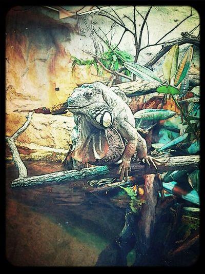 Leguan Echse Zooporn