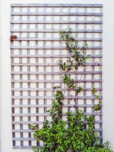 Huawei G9 Wall Art Architecture Building Exterior Built Structure Close-up Day Freshness Greenhouse Growth Ivy Leaf Mobilephotography Nature No People Outdoors Plant Spring Summer Tree Window