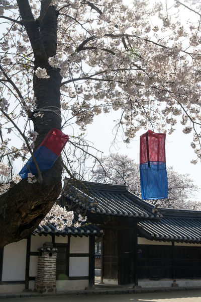 spring time in Gangreung, Gangwondo, South Korea Architecture Branch Building Exterior Built Structure Cheongsachorong Cherry Blossoms Day Flag Hanging Lantern Low Angle View Morning Nature No People Outdoors Patriotism Sky Spring Tree