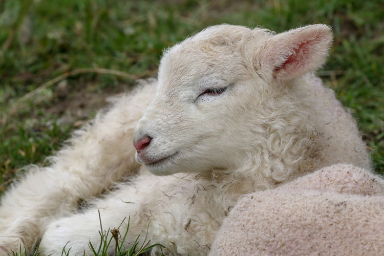 Spring Lamb Mammal Domestic Animals Animal Themes Animal Domestic Pets Livestock Sheep One Animal Vertebrate No People White Color Focus On Foreground Close-up Young Animal Day Lamb Nature Animal Body Part Animal Head  Herbivorous Outdoors