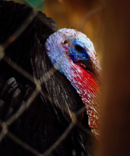 One Animal Bird Animal Themes Animals In The Wild Close-up No People Animal Wildlife Outdoors Day Nature Turkey - Bird Check This Out Animals In The Wild