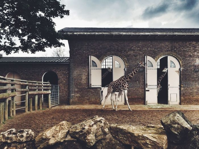 Giraffes at the Zoo . Vscocam Londonzoo My Best Photo 2014