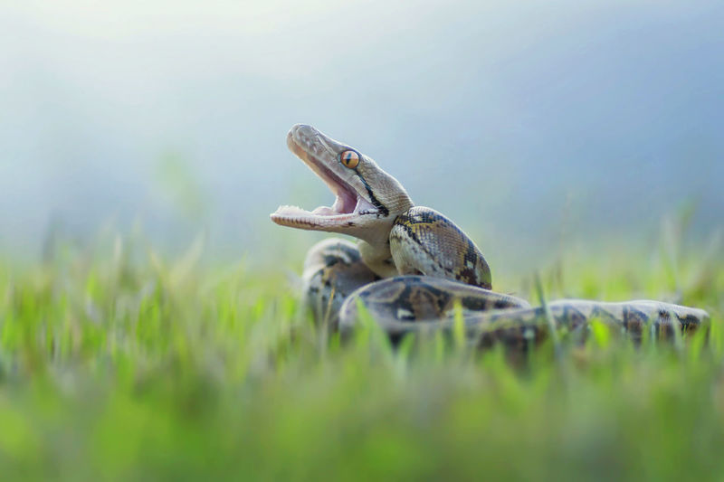 Close-up of anger snake on grassy field