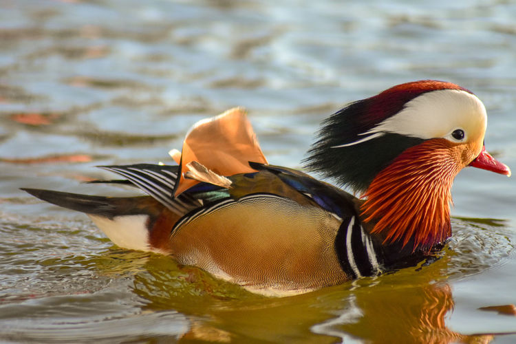 Bird Animal Themes Animal Wildlife Animal Water Animals In The Wild Duck Mandarin Duck Lake Vertebrate Swimming Waterfront One Animal Poultry No People Nature Day Close-up Beauty In Nature Floating On Water My Best Photo British Culture
