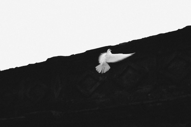 Monochrome Photography Black And White White Dove Copy Space Nature Beauty In Nature Flying Freshness Tranquility No People Tranquil Scene