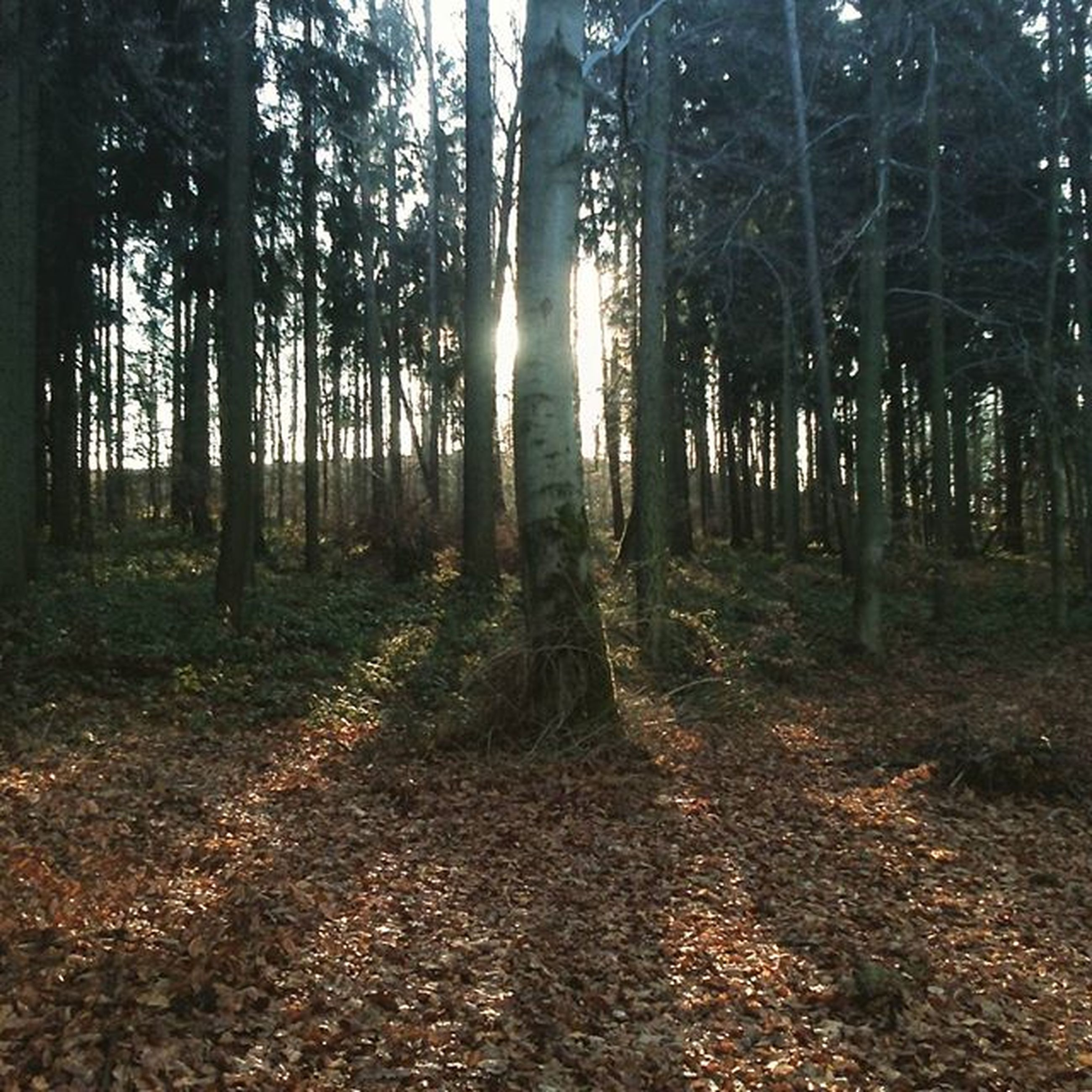 tree, forest, tranquility, woodland, tree trunk, tranquil scene, sunbeam, nature, sunlight, sun, scenics, landscape, beauty in nature, growth, non-urban scene, lens flare, back lit, leaf, day, outdoors
