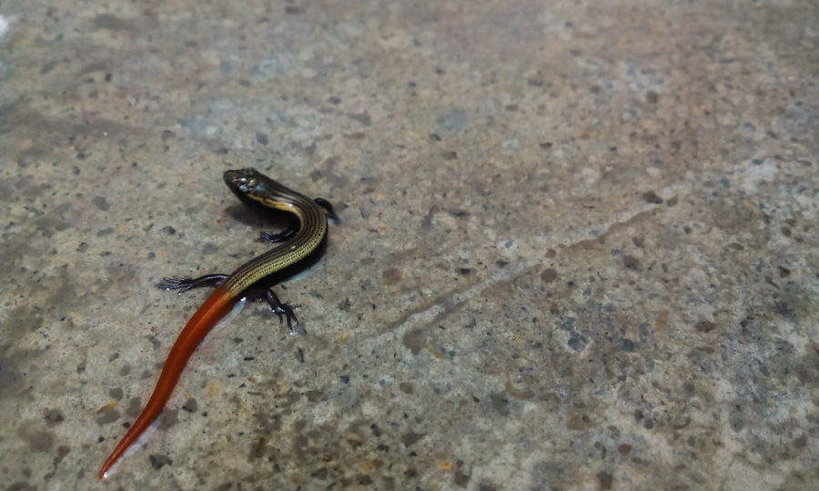 Skink Red Tail Red Tailed Skink Reptiles Baby Skink Baby Reptiles From My Point Of View Reptile Lizard Nature Orange Tail EyeEm Gallery Nature_collection Indian Skink Scincidae Reptilia