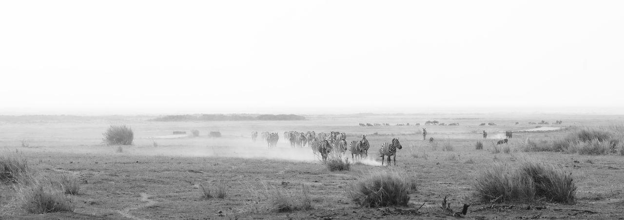 Zebra herd crossing Amboseli NP, Kenya Africa Amboseli National Park Animal Themes Animals In The Wild Black And White Dust Storm Dusty Road Endlessness Follow Your Instinct Landscape National Parks Kenya Safari Adventure Safari Animals Wideness Wilderness Zebra Zebra Crossing Zebra Herd