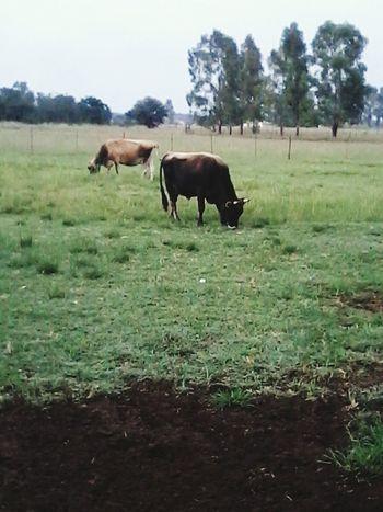 Farmland Farm Life Farming Cows!!! Check This Out
