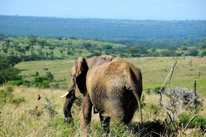 Murchison Falls National Park Lanskape African Elephant Animal Themes Sky Landscape Grass Elephant Savannah #FREIHEITBERLIN