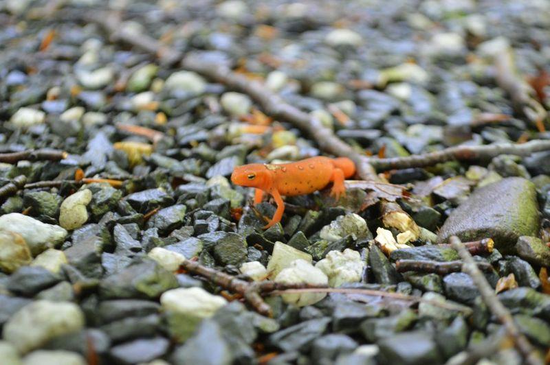Orange Mountain Gecko Gecko Orangemountaingecko Poconomountain Poconos Pennsylvania