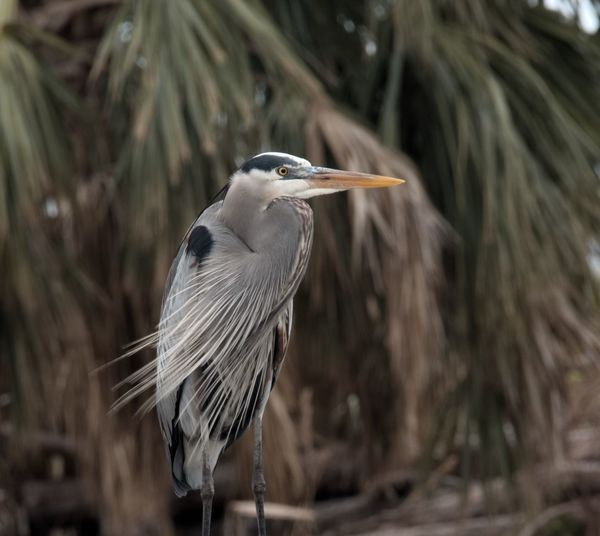 High angle view of gray heron perching