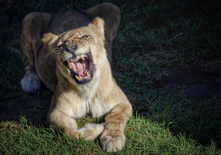 Close-up of lion yawning on grass