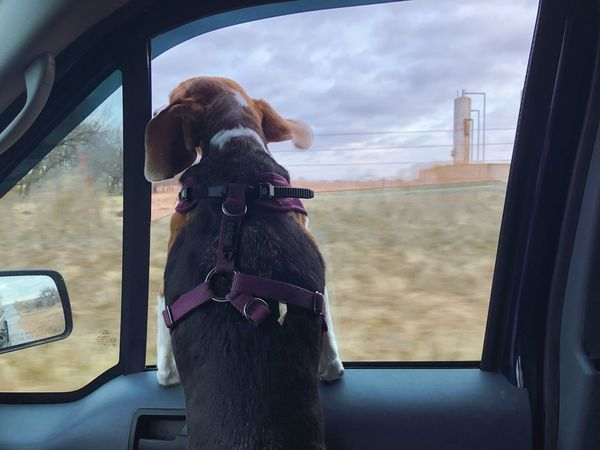 Ears flapping in the wind through Oklahoma Mammal Domestic Domestic Animals One Animal Pets Animal Themes Summer Road Tripping Dog Canine Animal Window Transportation Vehicle Interior Car