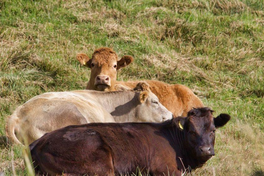Young Animal Field Grass Cattle Cow Dairy Farm Livestock Farm Animal Calf Livestock Tag Grazing Herbivorous Animal Family