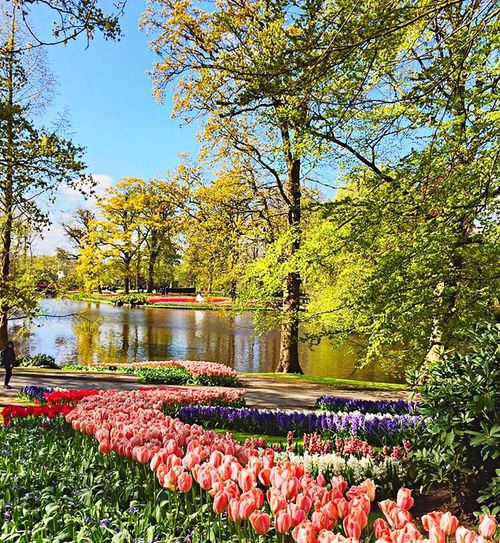 Amsterdam Beauty In Nature Nature Tree Flower Lake Freshness Clear Sky Travel Destinations Flowerbed Sky Tulips Travel Photography Outdoors Blooming Park Gardening Fleurs