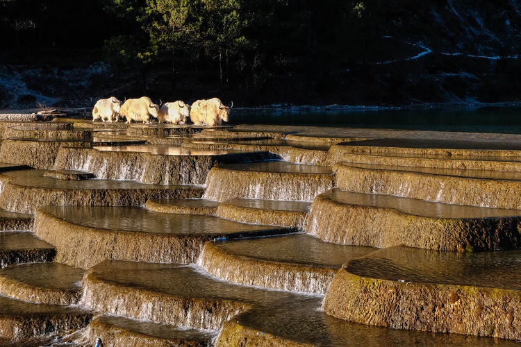White Buffaloes Crossing River
