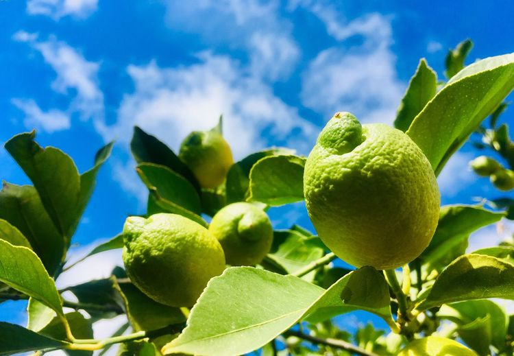 Closeup of green lemons Fruit Leaf Healthy Eating Plant Part Green Color Freshness Growth Food And Drink Sky Plant Food Nature Wellbeing Fruit Tree Tree Citrus Fruit
