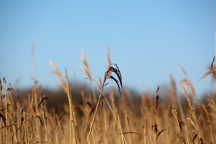Low angle view of dry reeds against clear blue sky