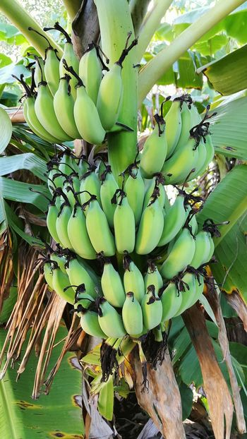 Banana Peel Banana Tree Banana Bananatree Nature_collection Green Nature Green Nature Beauty Nature Photography Nature