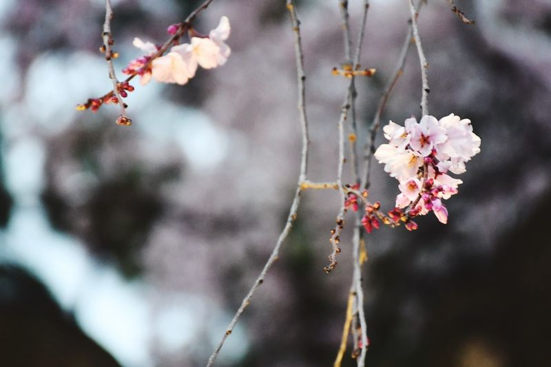 Sakura Cherry Blossom EyeEm Selects Flower Flowering Plant Plant Fragility Vulnerability  Freshness No People Blossom Branch Springtime Close-up Tree Day Beauty In Nature Outdoors