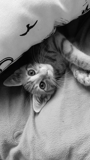 Monochrome Photography Animal Themes Domestic Animals Pets One Animal Domestic Cat Mammal Cat Feline Indoors  Looking At Camera Portrait Whisker Home Interior Carnivora Staring Zoology Alertness Relaxation Animal Head  Animal Eye