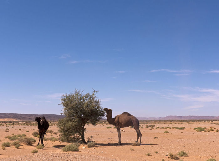 Two camels in the Sahara desert in Morocco Mammal Animal Themes Animal Sky Vertebrate Landscape Animal Wildlife Environment Nature Group Of Animals Desert Two Animals Herbivorous Climate Arid Climate Camel Sahara Morocco Horizon Over Land Sand Africa Arabian