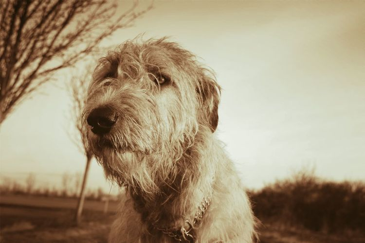 Monochrome Sepia One Animal Animal Themes Close-up Animal Head  Outdoors Day Domestic Animals How Is The Weather Today? February 2017 Cearnaigh Winter 2017 Dogslife Irish Wolfhound Dogs Of EyeEm Dog Of The Day Dogs Of Winter Dogwalk