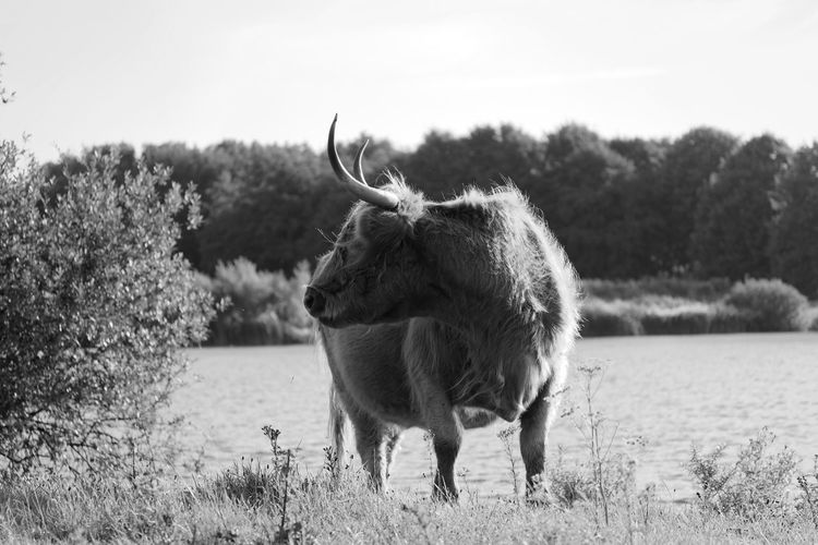 Highland Cattle Monochrome Blackandwhite