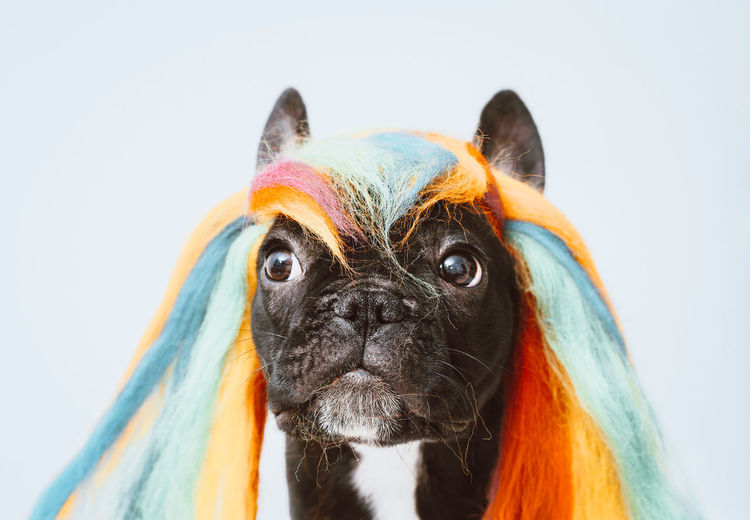 Tasty! Wig French Bulldog Frenchie Frenchbulldog Close-up Animal Themes Animal One Animal Pet Colorful Colours Colorful Colourful White Background Portrait Pets Studio Shot Dog Looking At Camera Close-up Animal Eye Nose Animal Head  HEAD Animal Body Part