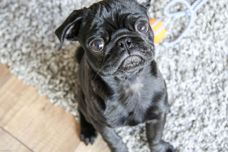 High Angle Portrait Of Black Pug Puppy At Home