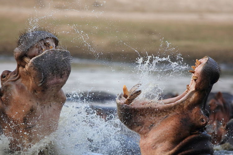 Close-Up Of Hippopotamuses With Mouth Open In Lake