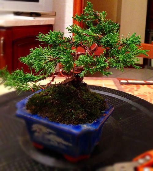 Juniperus Itoigawa stile eretto informale 🌲🌲🌲 Bonsai Tree