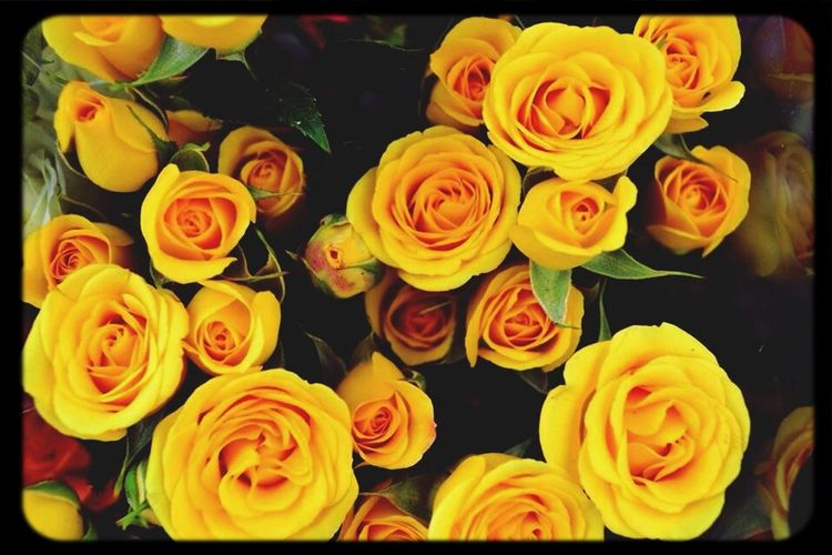 Ros 🌹 Yellow Flower