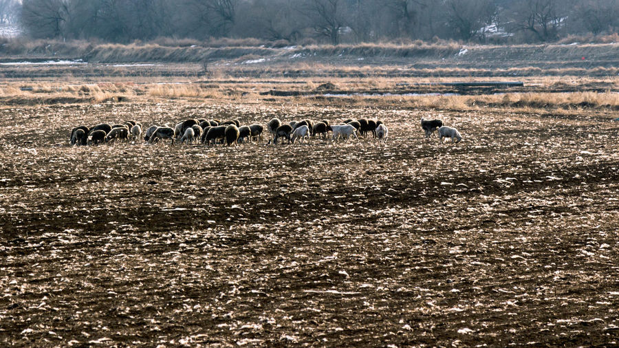 Flock of sheep in water