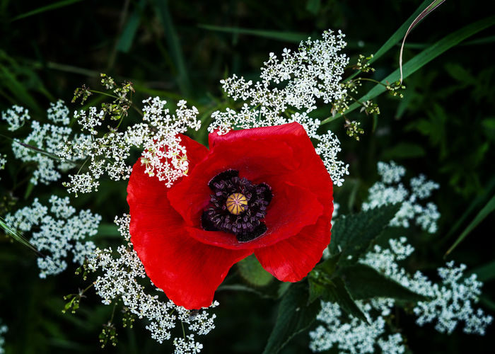 Coquelicot Coquelicot Flower Flower Head Red Poppy Love Close-up Plant Petal Plant Life Single Flower