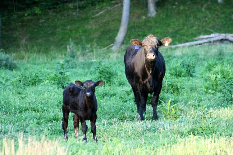Animal Themes Animals In The Wild Bovine Calf Calves Cow Cow And Calf Cows Day Domestic Animals Farmlife Field Full Length Grass Livestock Mammal Nature No People Outdoors