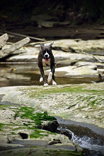 Playtime One Animal Animal Themes Mammal Dog Animal Canine Pets Motion Nature Domestic Animals No People Running Solid Rock Water Domestic Stream - Flowing Water Vertebrate Day Rock - Object