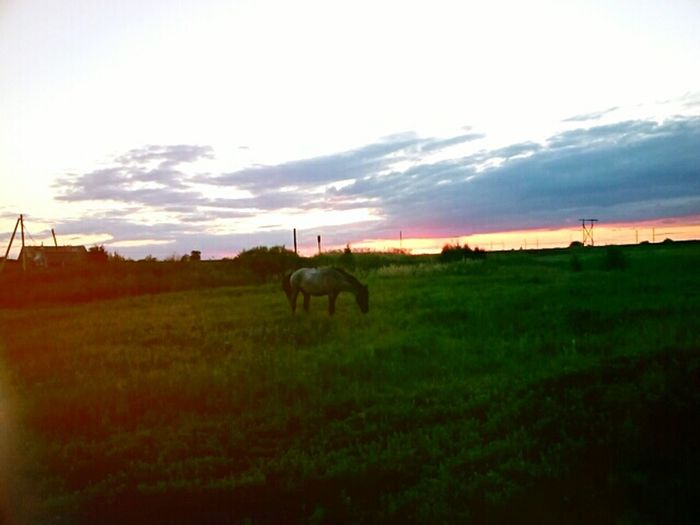 Horses grazing on grassy field against sky