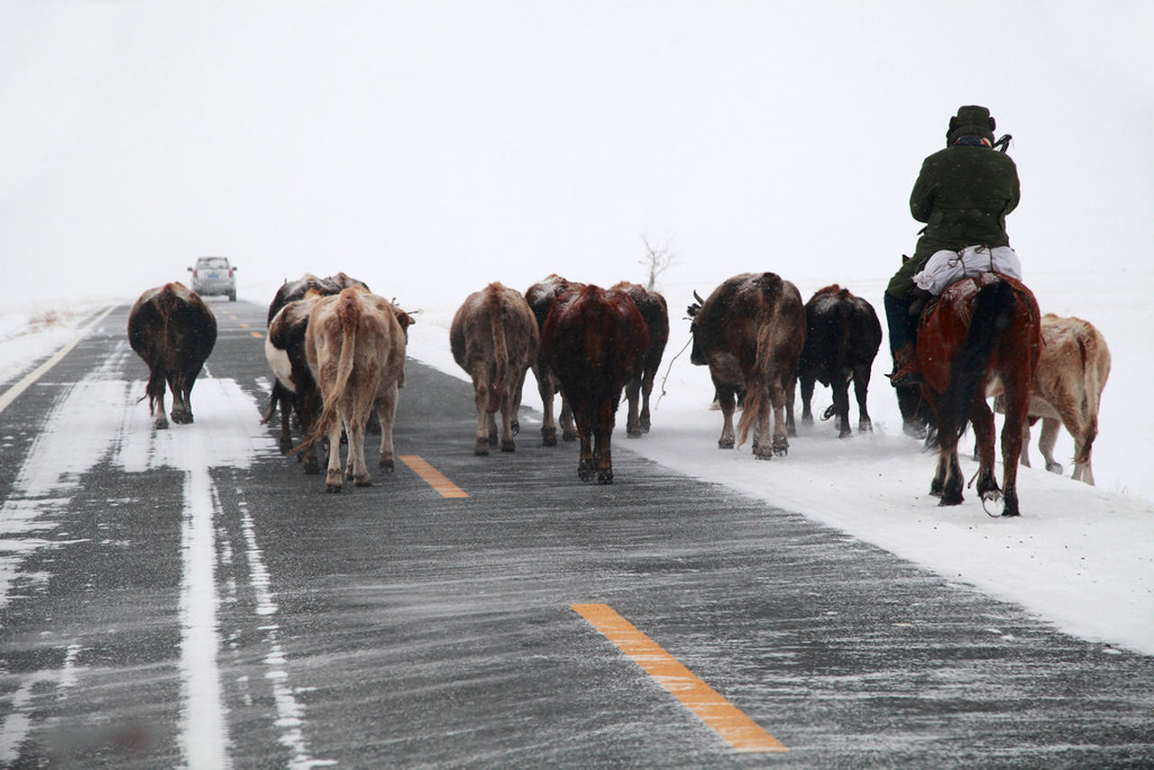 Man riding horse with cows on street during winter